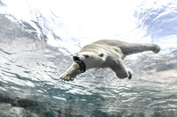 Polar Bear, playful attack